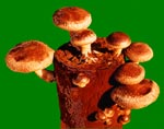 Shiitake Mushroom Log - Mushroom Growing Kit